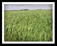 Winter Rye/Cereal Rye